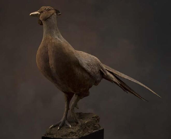 Pheasant - B