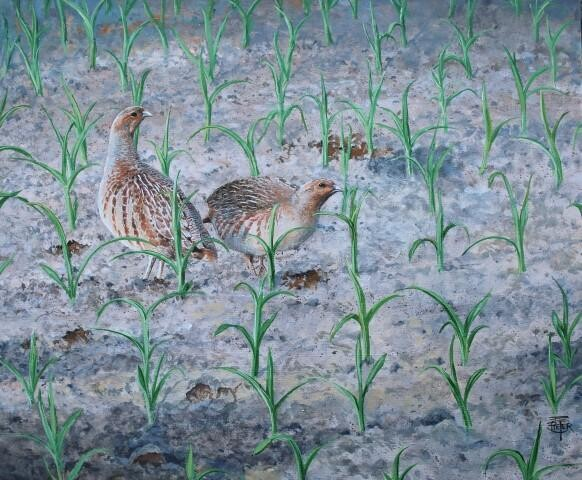 Partridges in the cornfeld