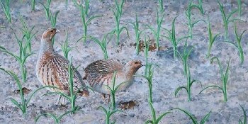 Partridges in the cornfeld
