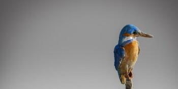 Kingfisher-B